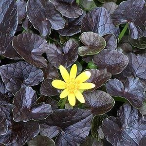 Ranunculus-ficaria-brazen-hussy
